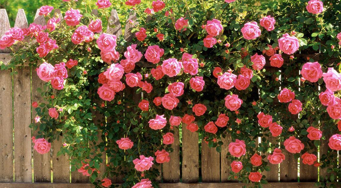 Как выращивать плетистые розы правильно