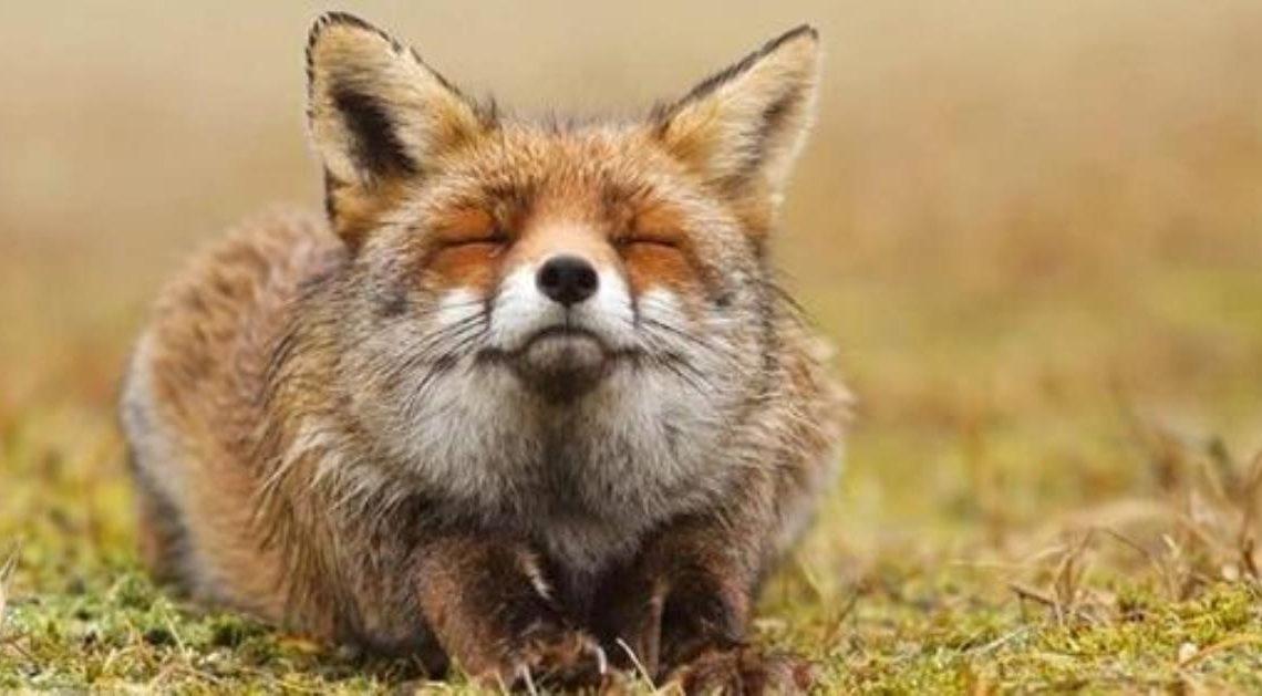 20 фотографий, на которых лисы бесподобны