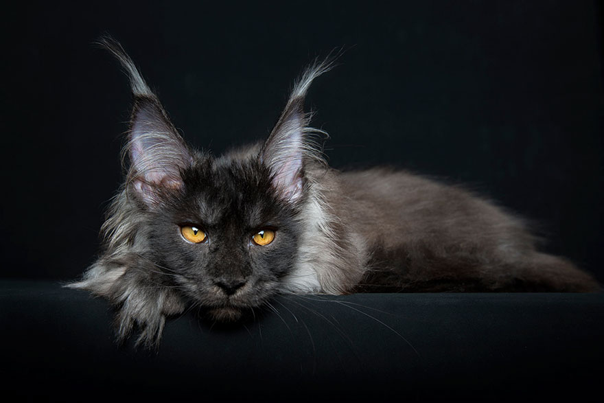 Мифические звери: фотограф показал миру царственную красоту мейн-кунов